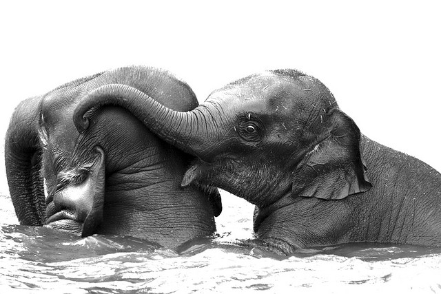 Elefanten festgekettet am Bein