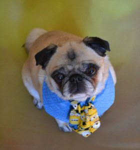 Leader of my Minions Bailey Puggins by DaPuglet